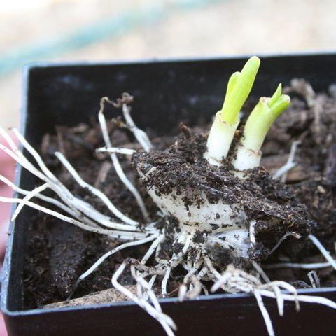 Plant, Flower, Root, Soil, Houseplant, Comfort food, Perennial plant,