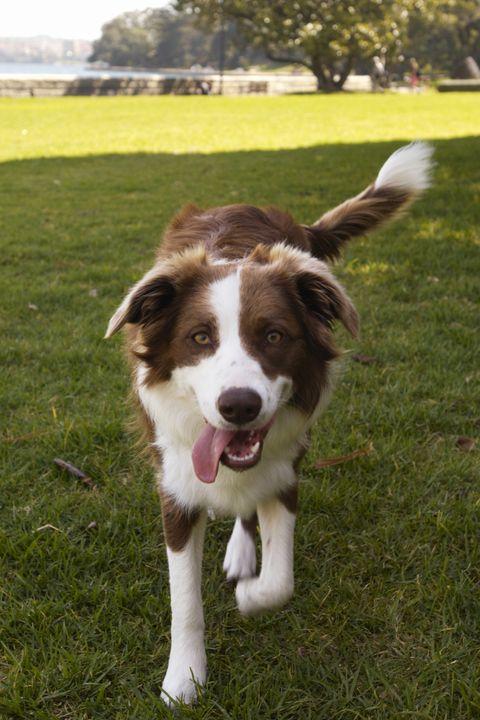 Dog breed, Grass, Carnivore, Dog, Working animal, Sporting Group, Plain, Grassland, Grass family, Companion dog,