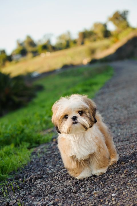 Top Dog Breeds That Don T Shed Fur