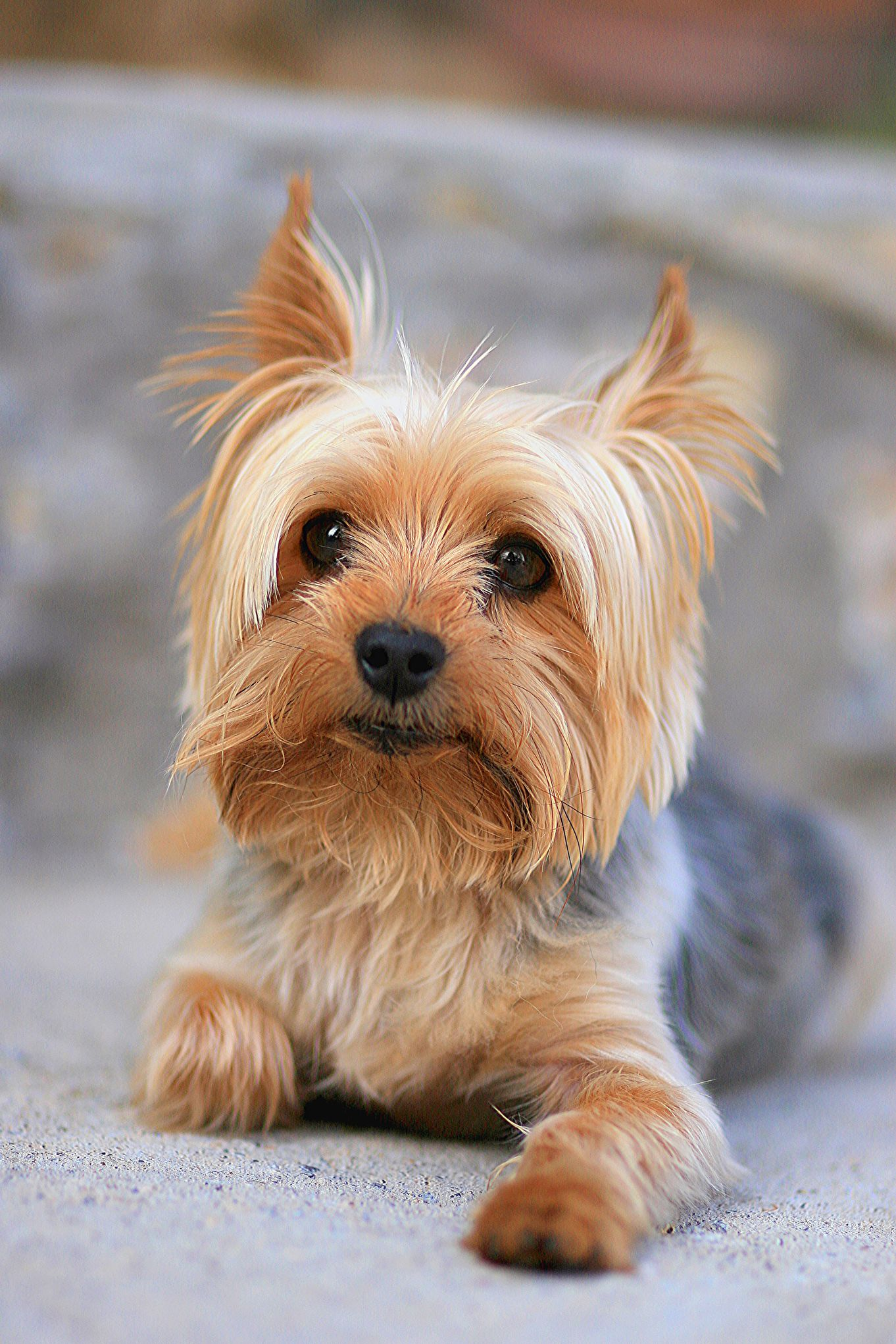 20 Best Hypoallergenic Dogs - Top Dog Breeds That Don't Shed Fur