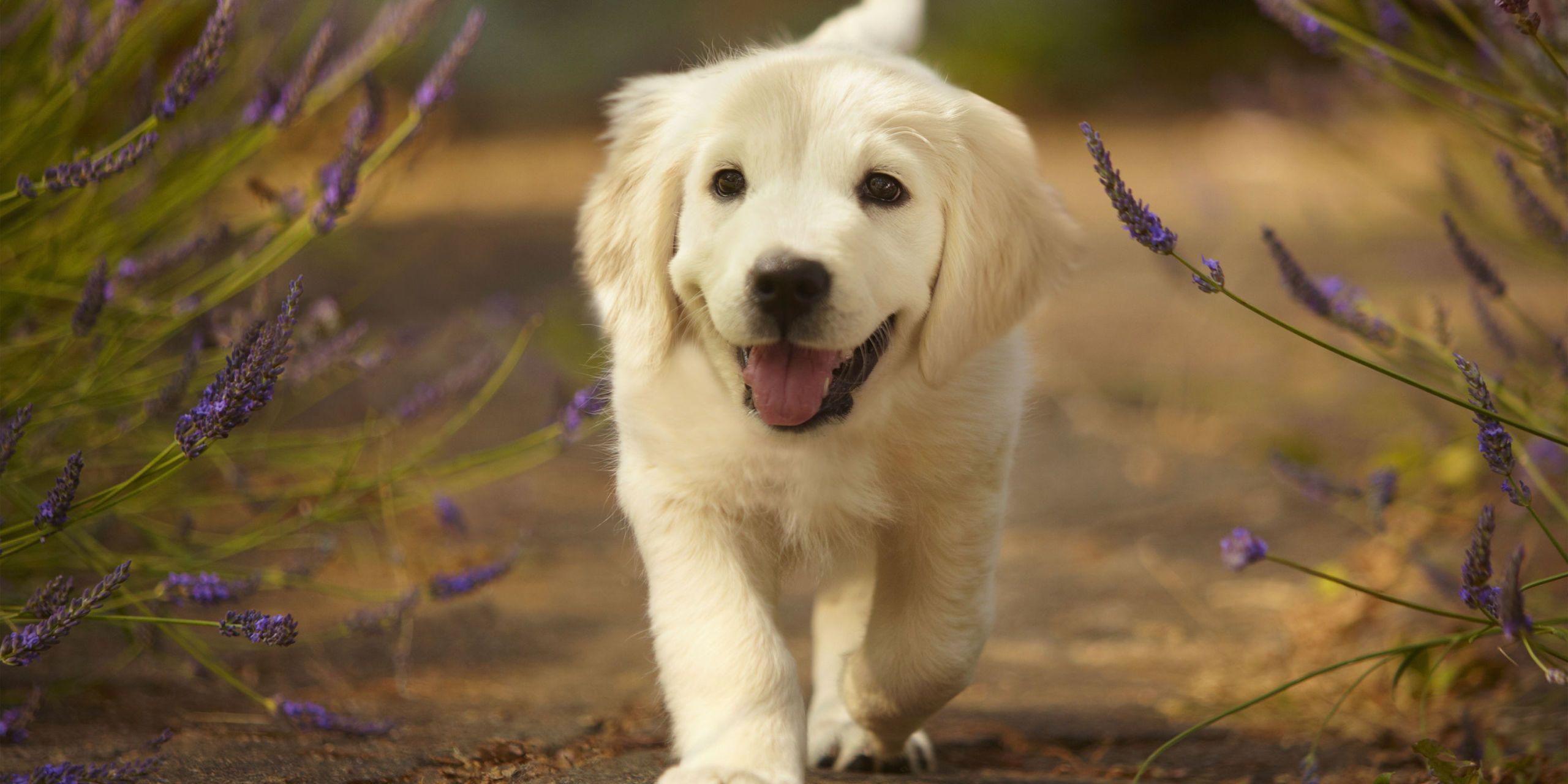 Download Fluff Ball Adorable Dog - landscape-1500925839-golden-retriever-puppy  Graphic_196880  .jpg?resize\u003d768:*