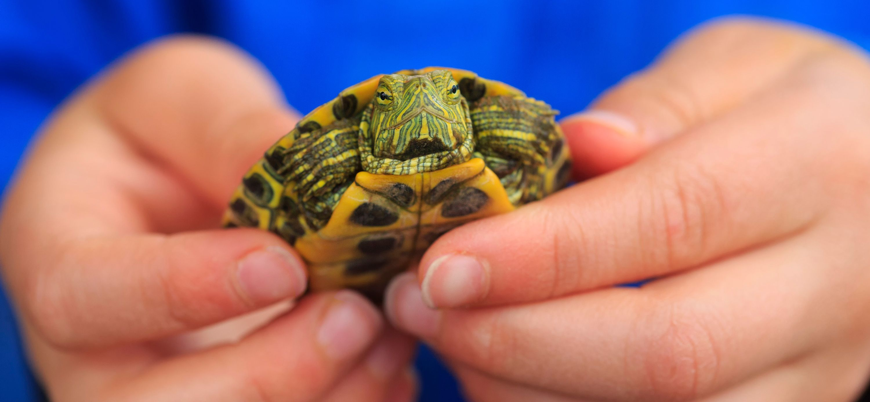Pet Reptiles And Salmonella Risk Why You Shouldn T Own A Pet Turtle