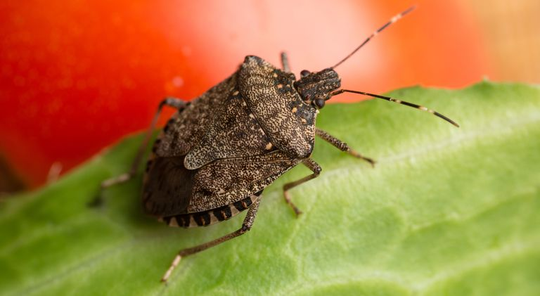 how to get rid of stink bugs in house tips for killing stink bugs. Black Bedroom Furniture Sets. Home Design Ideas