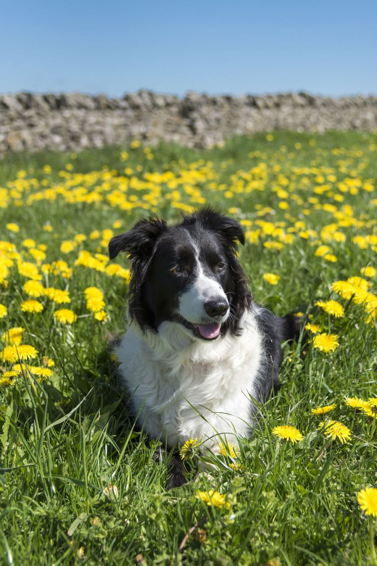 G And H Border Collies 40 Best Medium Sized D...