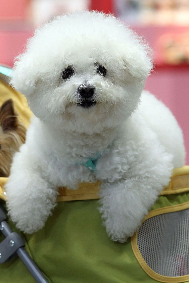 14 Small White Dog Breeds Fluffy Little White Dogs