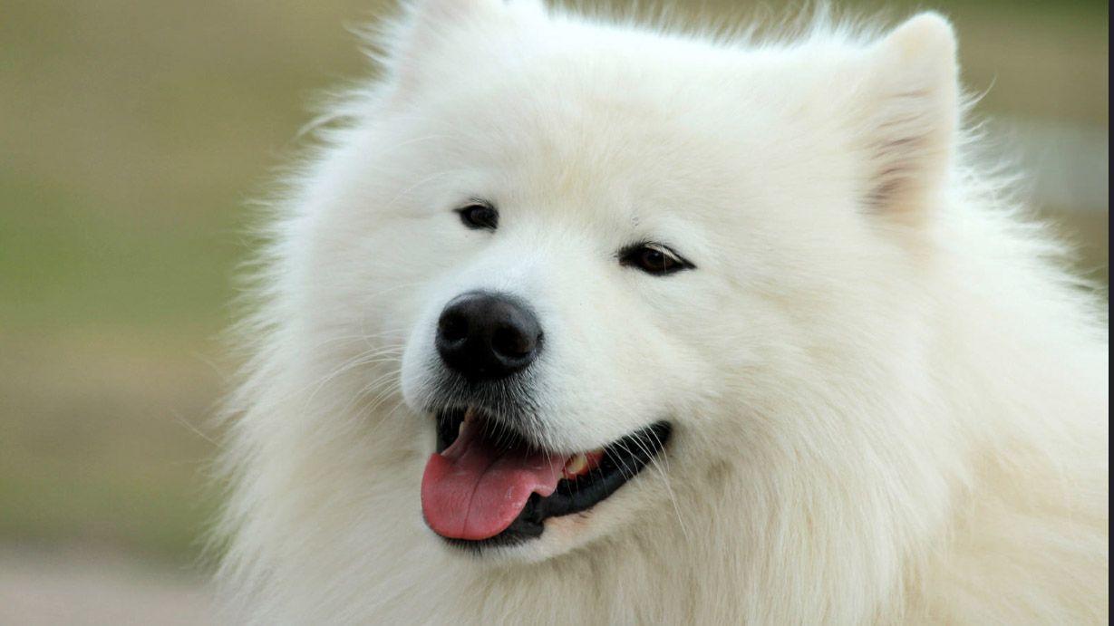 14 Small White Dog Breeds - Fluffy Little White Dogs
