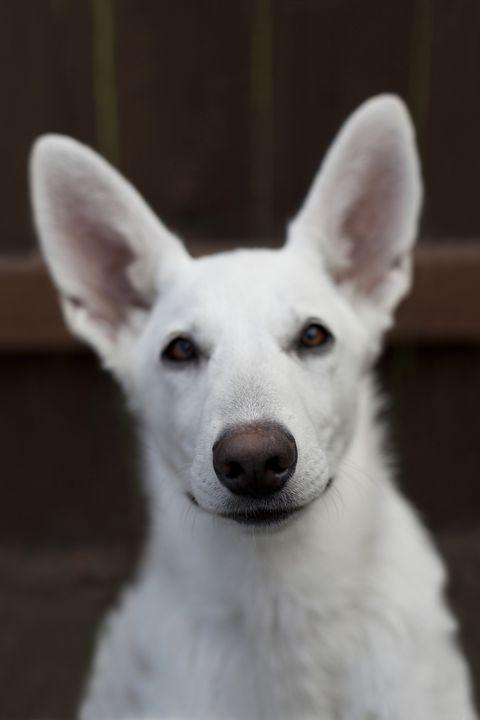 14 Small White Dog Breeds Fluffy Little White Dogs