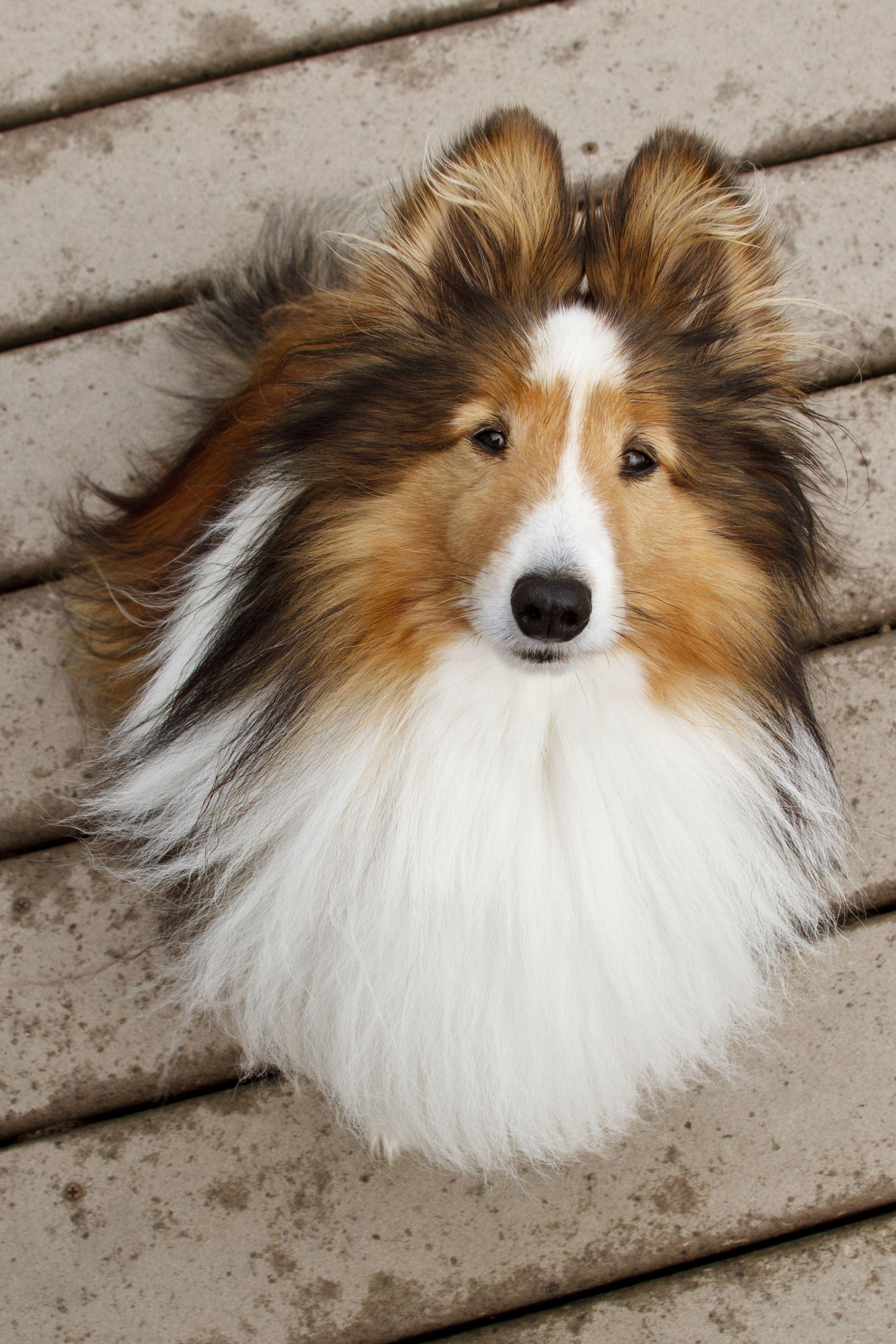 Шетландская овчарка - Какая порода собак самая умная