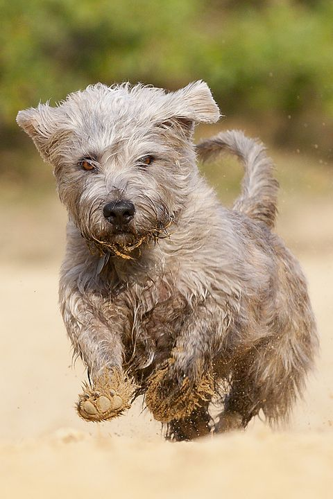 15 Quiet Dog Breeds Dogs That Don T Bark