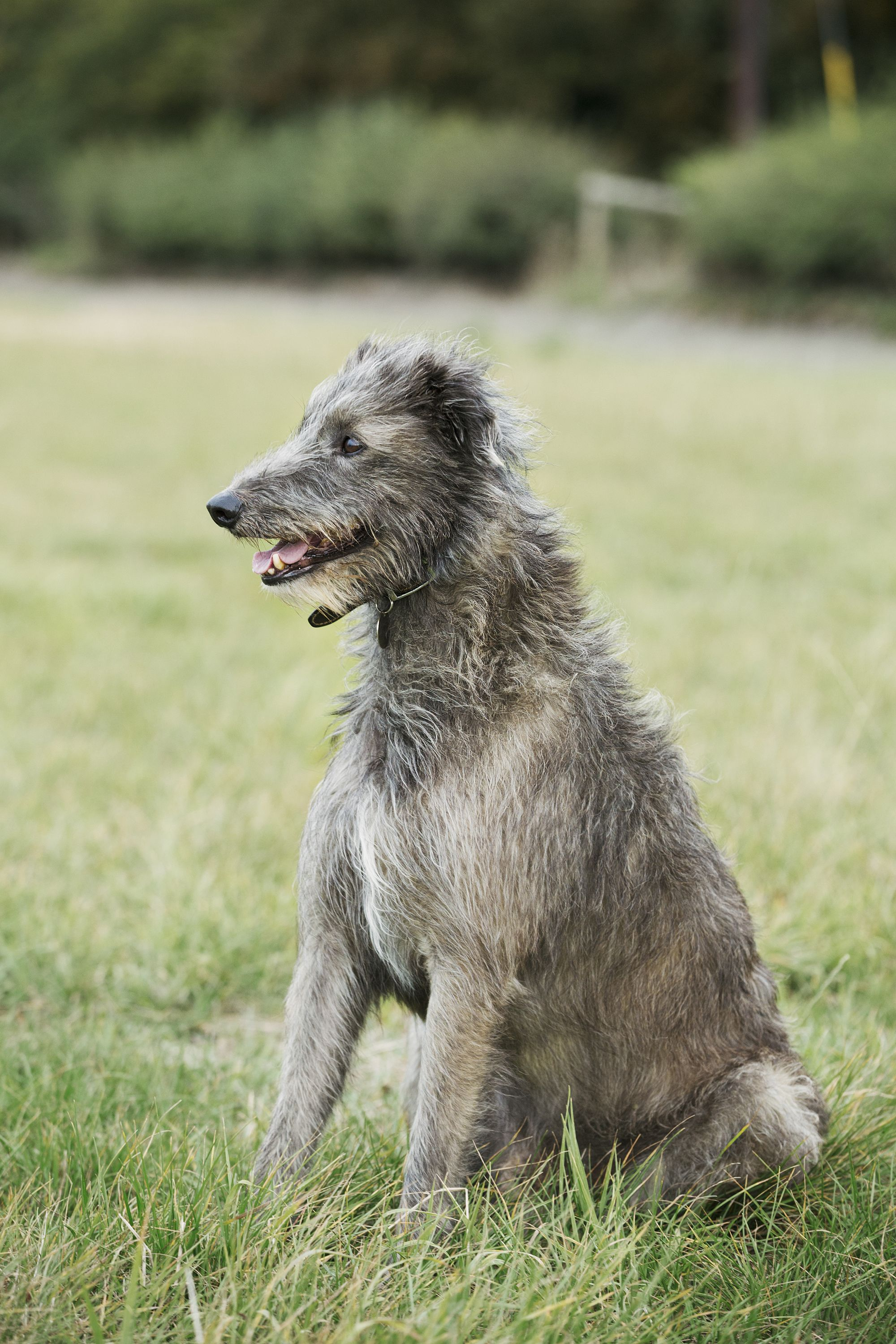 15 Quiet Dog Breeds - Dogs That Don't Bark