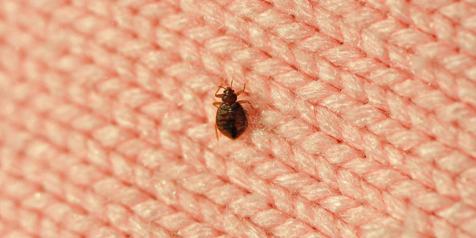 How To Get Rid Of Bedbugs Fast Best Way To Kill Bed Bugs