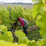 Grapevine family, Vineyard, Plant, Grape, Agriculture, Vitis, Farmworker, Cash crop, Tree, Crop,