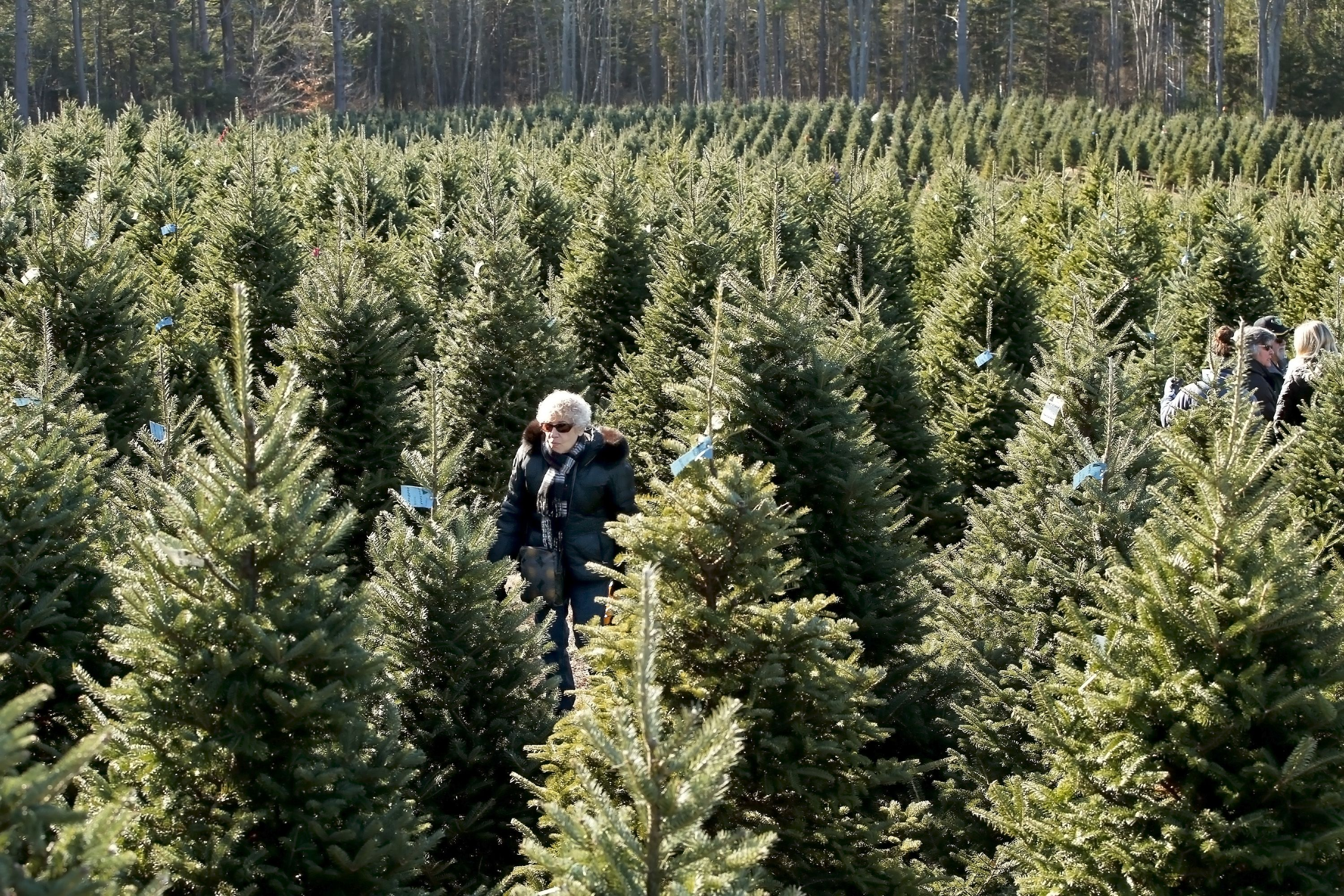 Christmas Tree Shortage.Christmas Tree Shortage In United States Could Increase Cost