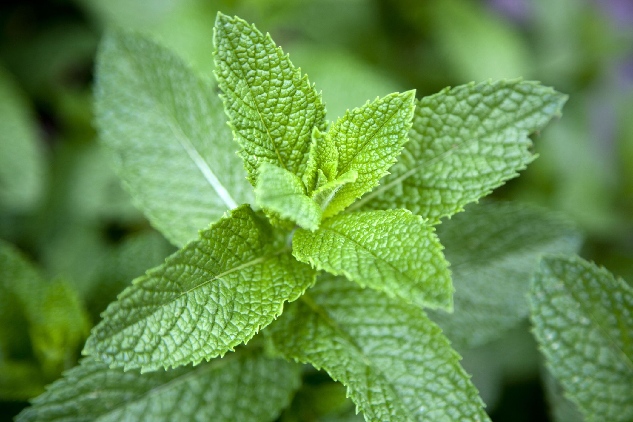 5 health benefits of mint why mint leaves are good for you