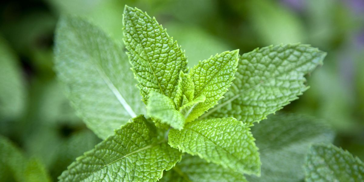 5 Health Benefits of Mint - Why Mint Leaves Are Good For You