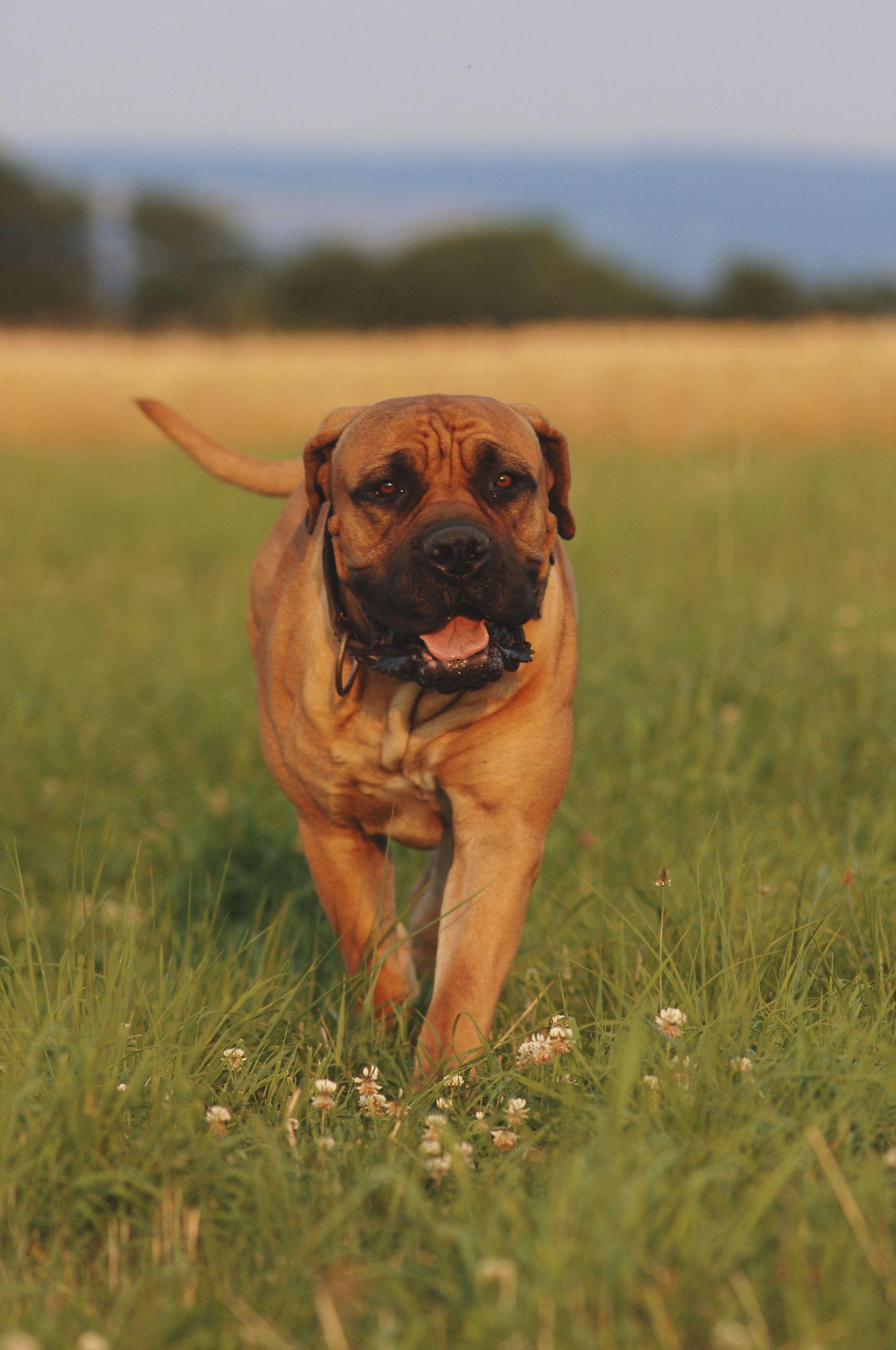 25 Biggest Giant Dog Breeds - Largest Dog Breed Photos