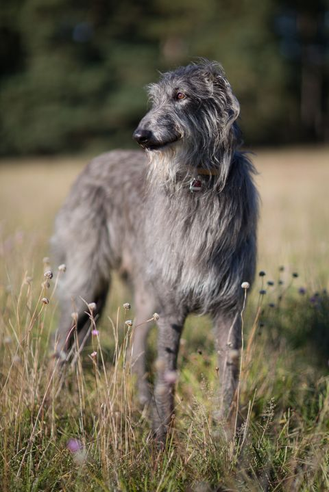 Dog, Mammal, Vertebrate, Canidae, Dog breed, Scottish deerhound, Carnivore, Sighthound, Irish wolfhound, Silken windhound,