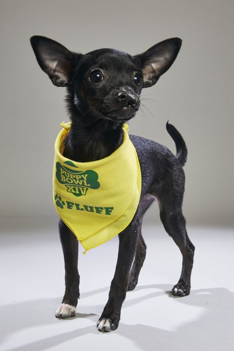 Dog, Mammal, Vertebrate, Canidae, Dog breed, Dog clothes, Yellow, Carnivore, Chihuahua, Snout,