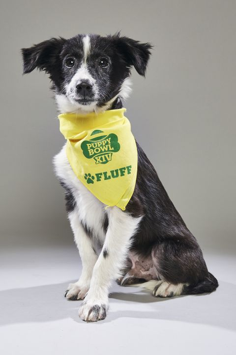 Dog, Canidae, Dog breed, Border collie, Puppy, Carnivore, Stabyhoun, Snout, Companion dog, Sporting Group,