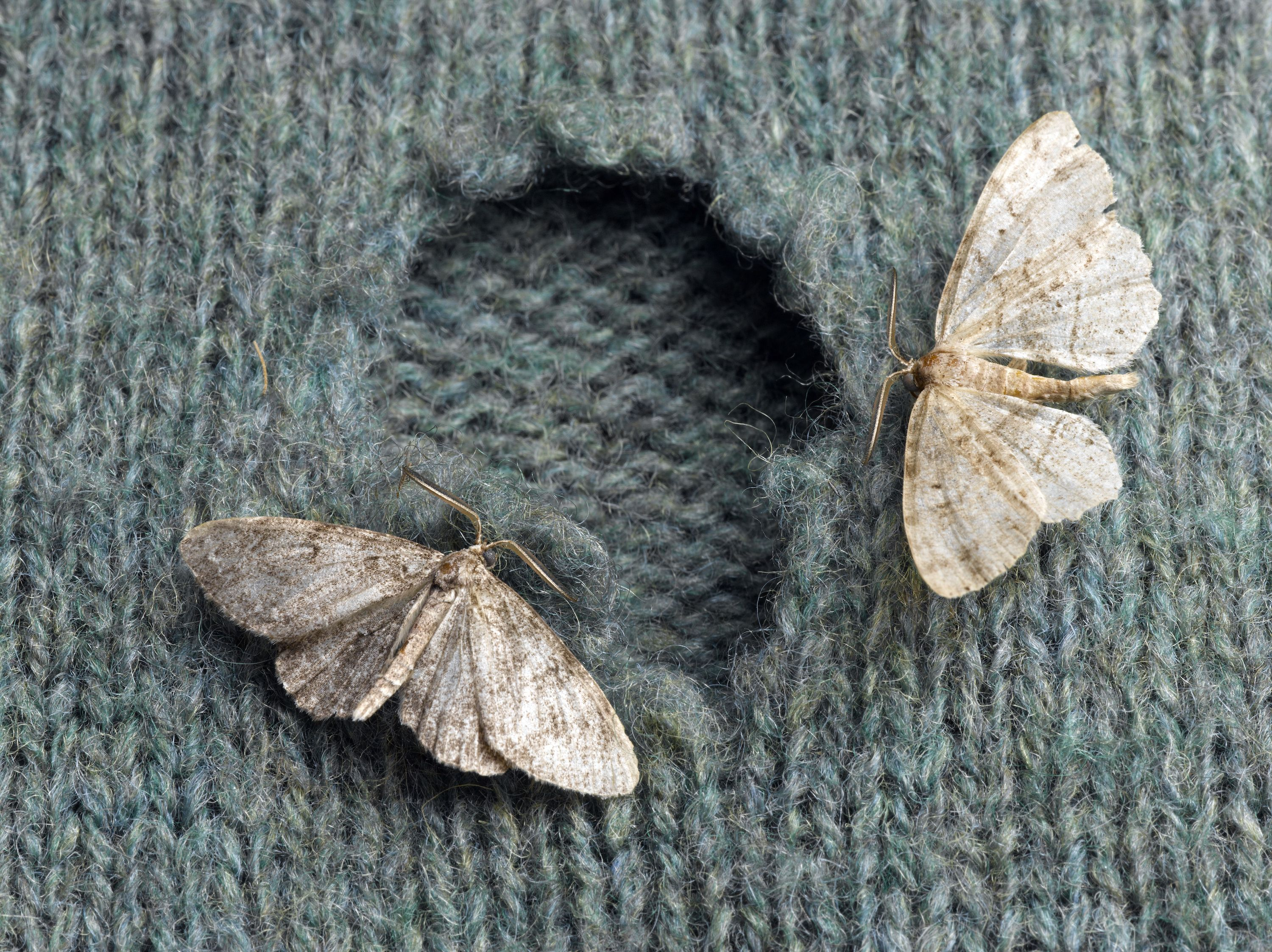 How to Get Rid of Moths in the House - Best Way to Kill