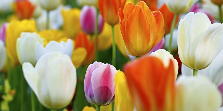 20 happy spring quotes sayings about spring and flowers spring tulips mightylinksfo Images