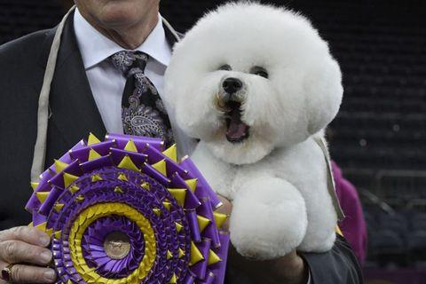Dog, Canidae, Dog breed, Companion dog, Puppy, Bichon frisé, Carnivore, Bichon, Rare breed (dog), Non-Sporting Group,