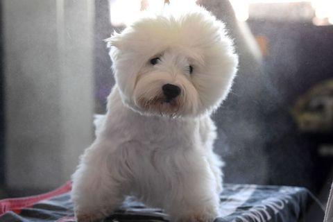 Dog, Mammal, Vertebrate, Canidae, Dog breed, West highland white terrier, Maltepoo, Puppy, Maltese, Carnivore,