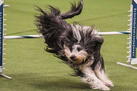 Dog breed, Dog, Mammal, Canidae, Dog agility, Tibetan terrier, Carnivore, Terrier, Schapendoes, Bearded collie,