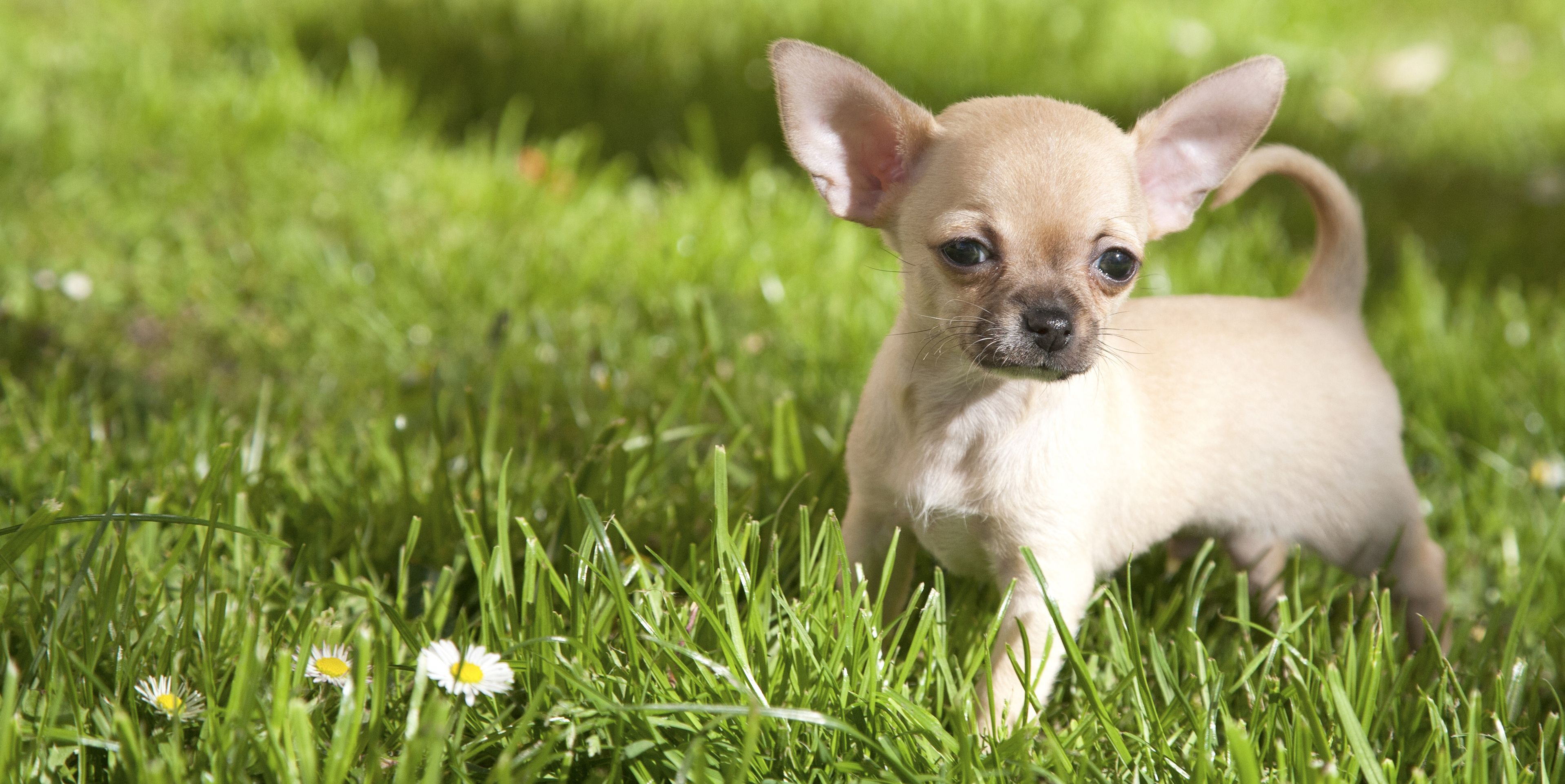 Dog Breeds Chihuahua - Dogs Of Days Summer