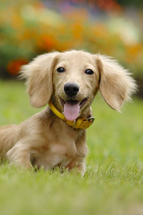 15 Cute Miniature Dog Breeds - Best Toy Dog Breed List