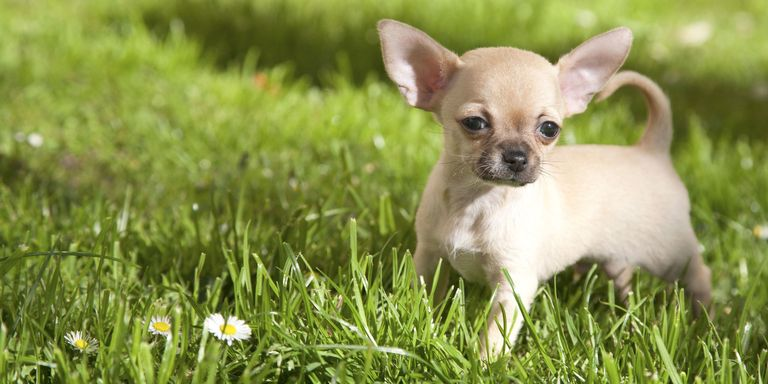Smallest Toy Dogs : Cute miniature dog breeds best toy breed list
