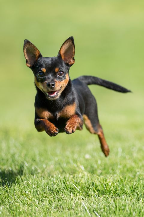 dd026e10e9a9dd Getty Images. Chihuahua. A charming and outgoing pet ...