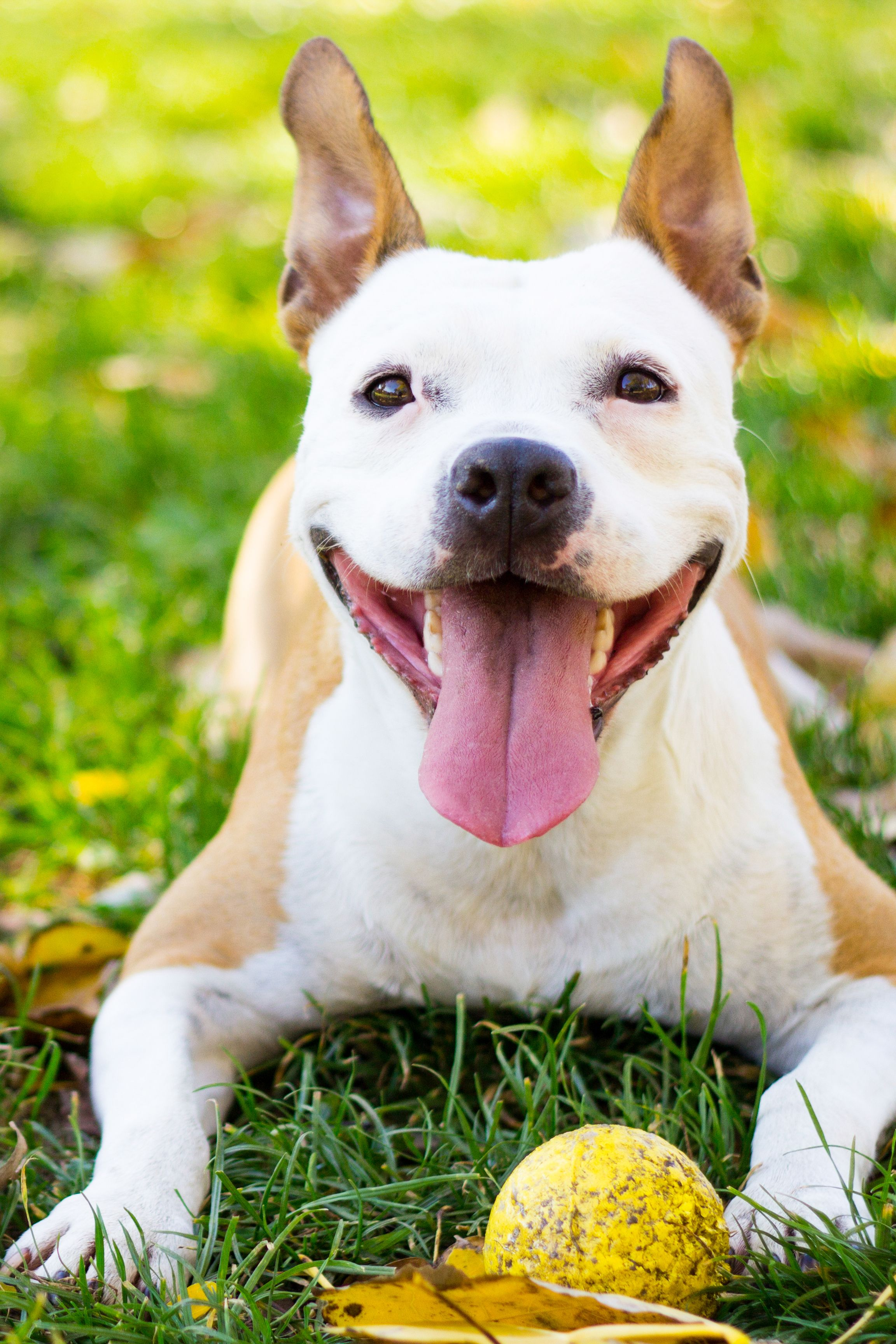 What kind of dog is better to get in the apartment: tips, description of breeds, features of character and reviews 22
