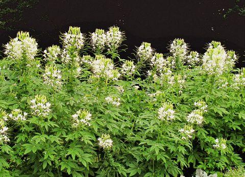 Flower, Shrub, Flowering plant, Garden, Subshrub, Perennial plant, Herbaceous plant, Forb, Wildflower,