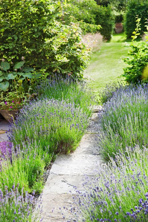Grass, Plant, Shrub, Garden, Plant community, Lavender, Groundcover, Flowering plant, Purple, Subshrub,