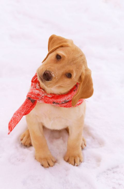 Skin, Dog breed, Winter, Dog, Carnivore, Snow, Sporting Group, Companion dog, Fawn, Beige,