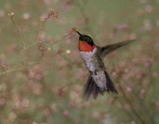ruby throated hummingbird sipping nectar from a flower