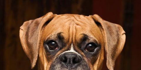 puppy eyes staring brown dog