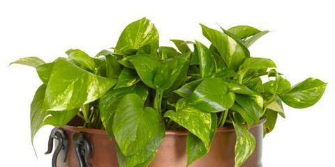 imax tauba copper planter