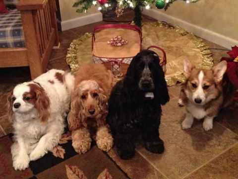 Dog breed, Dog, Vertebrate, Carnivore, Mammal, Sporting Group, Home, Spaniel, Cabinetry, Christmas decoration,