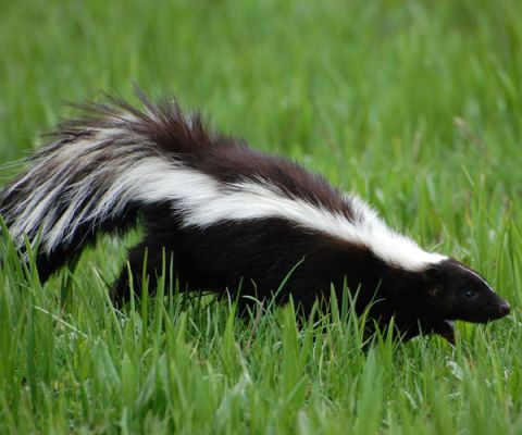 skunk walking through grass