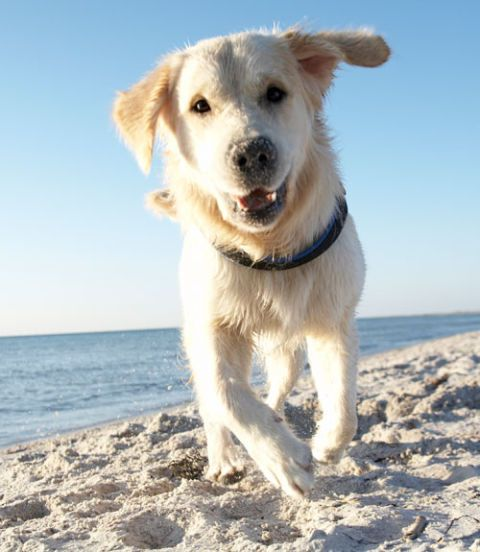 yellow lab on beach