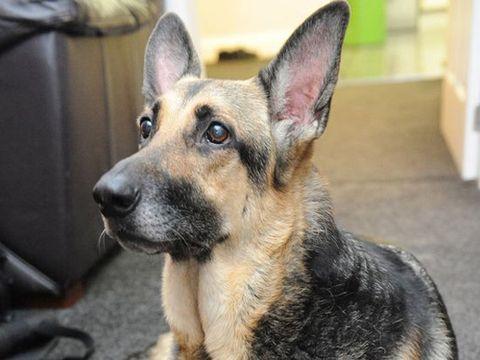 Dog breed, Dog, Vertebrate, Carnivore, Snout, German shepherd dog, Police dog, Fur, Canidae, Fawn,