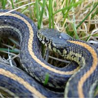How to Keep Garter Snakes Out of Your Yard