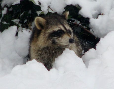 raccoon in snow