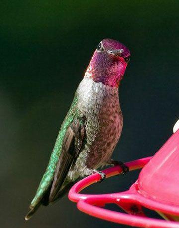 hummingbird at a nectar feeder