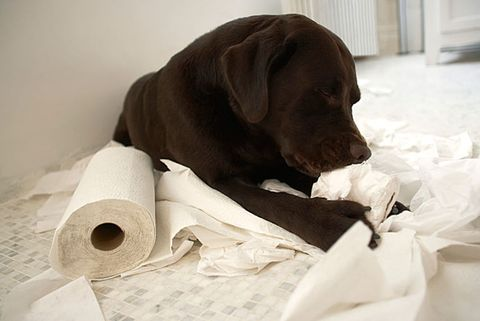 dog tearing toilet paper
