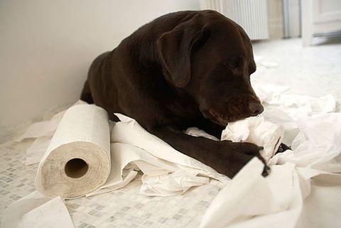 dog tearing toilet paper