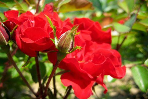 easy roses