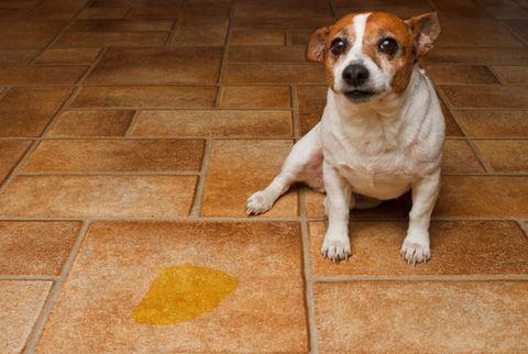 dog peed in kitchen